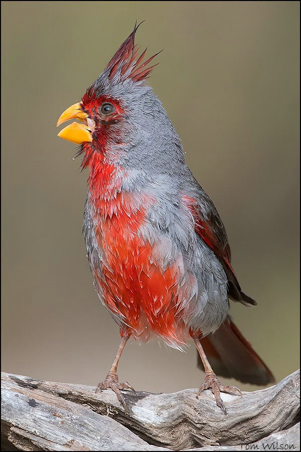 Male Pyrrhuloxia after a Bath
