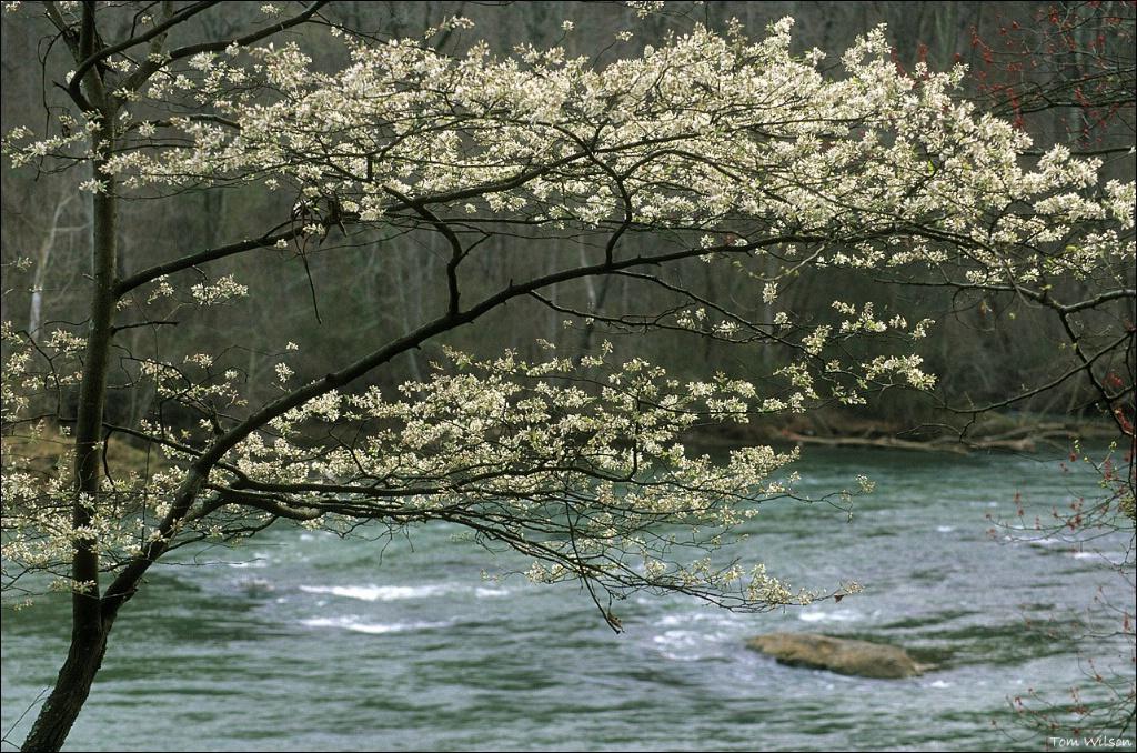 White Tree at Thornton Shoals