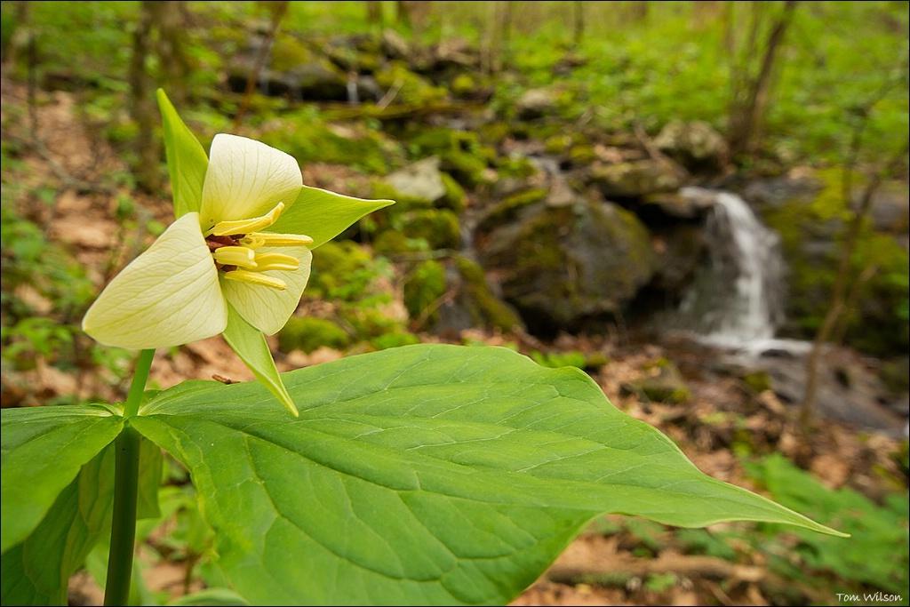 Trillium and Cascade