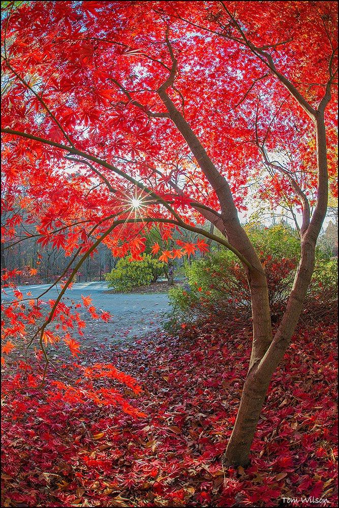 Japanese Maple and Sunstar Gibbs Gardens
