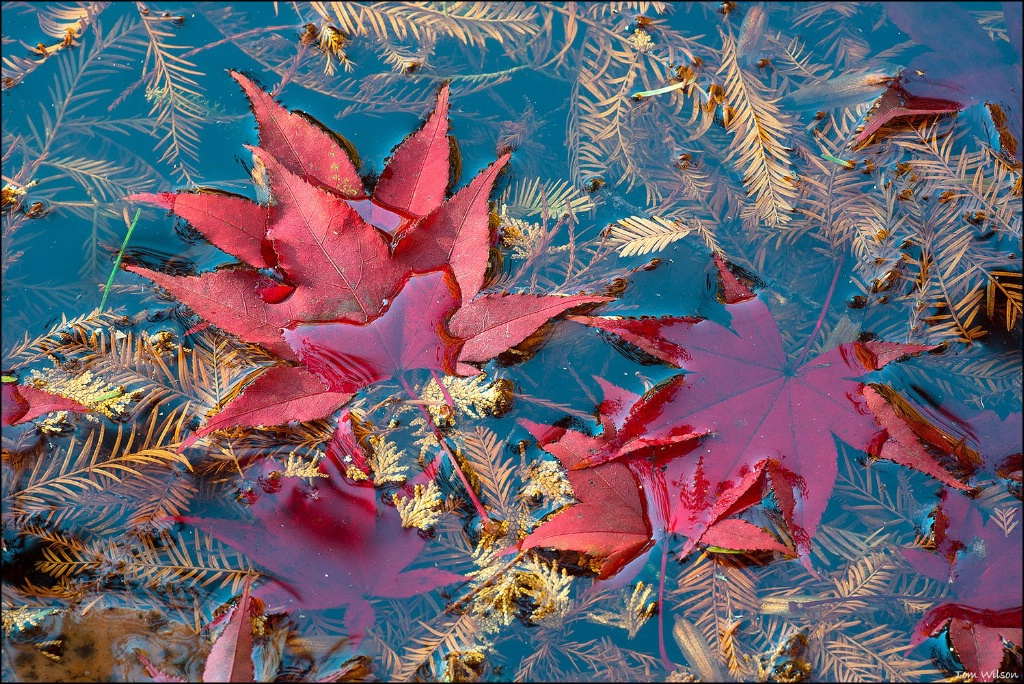 Japanese Maple Leaves Gibbs Gardens
