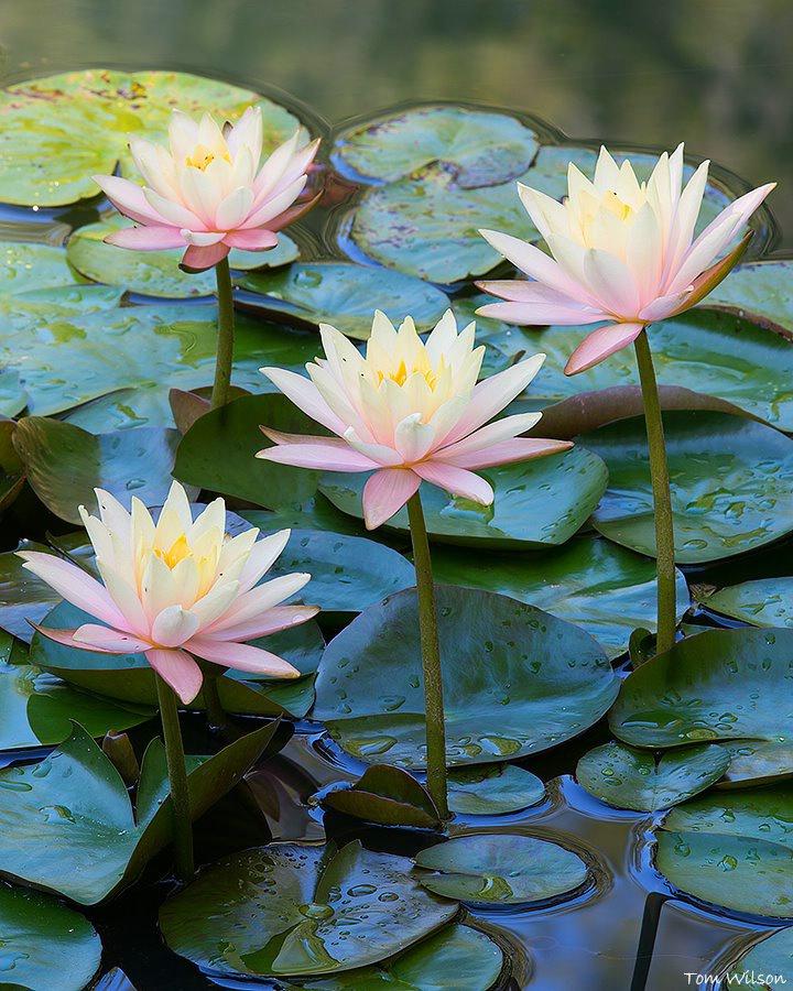 Four Water Lilies Gibbs Gardens