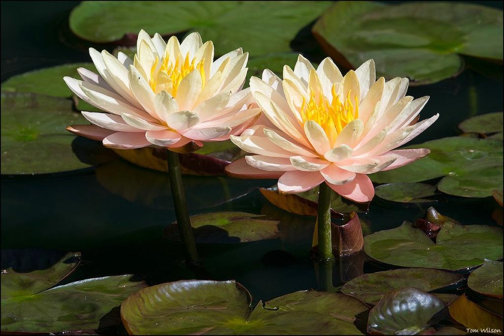 Two Light Salmon Water Lilies Gibbs Gardens