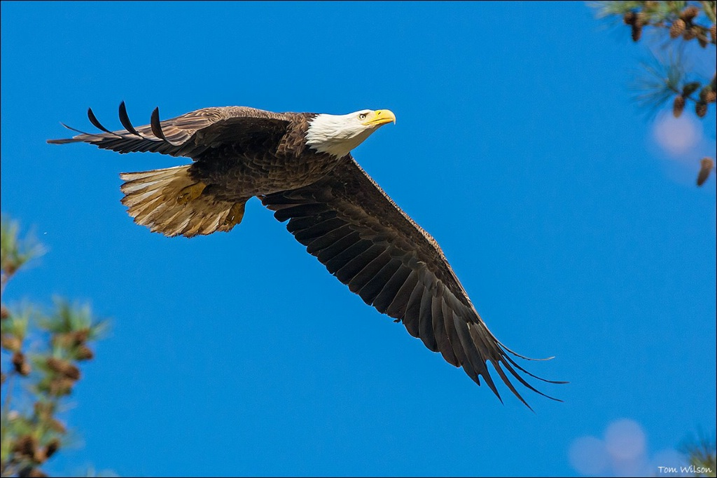 Female Bald Eagle at Berry College Flying