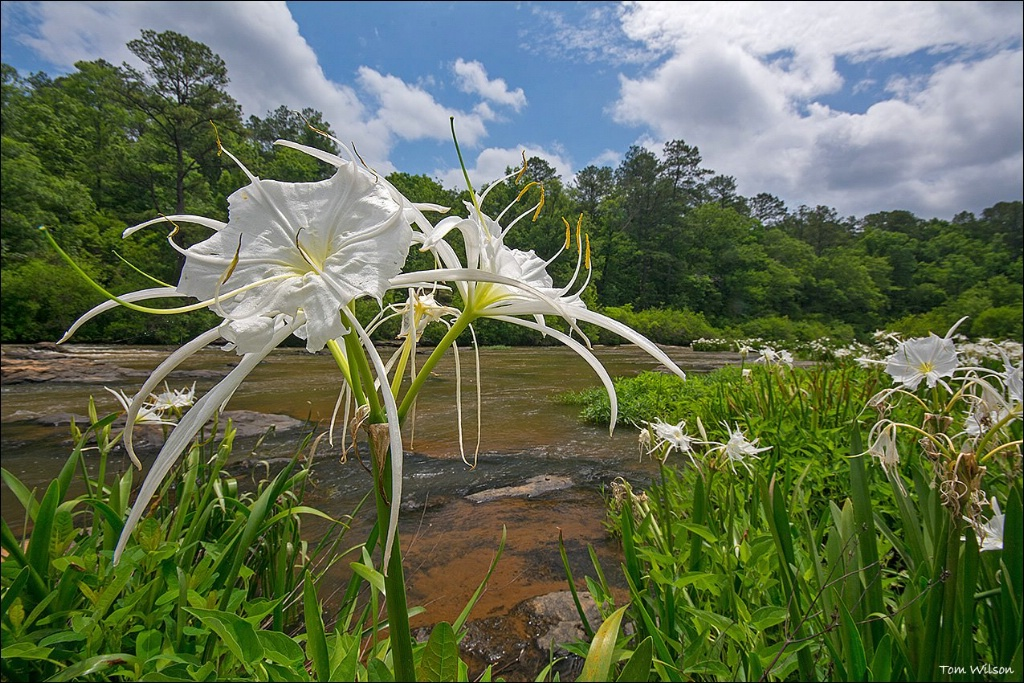 Spider Lilies in Flat Shoals Creek