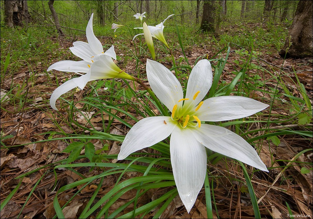 Easter Lilies in Piedmont WMA