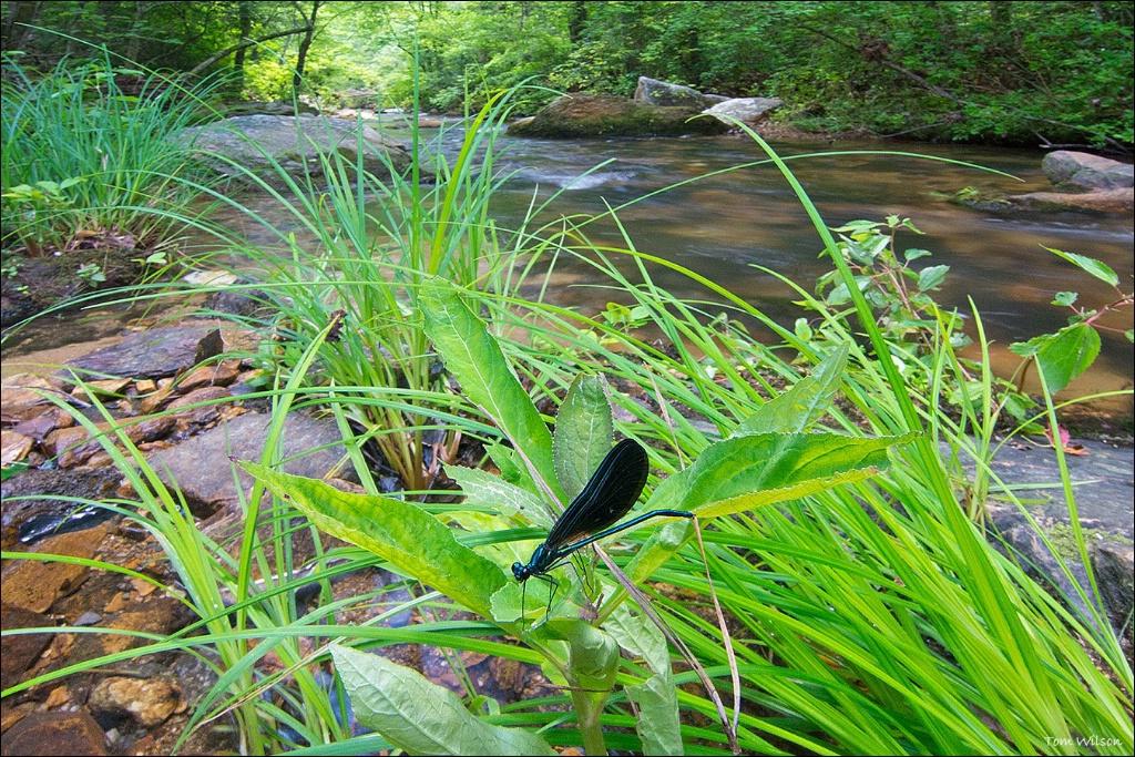 Ebony Jewellwing on Stamp Creek
