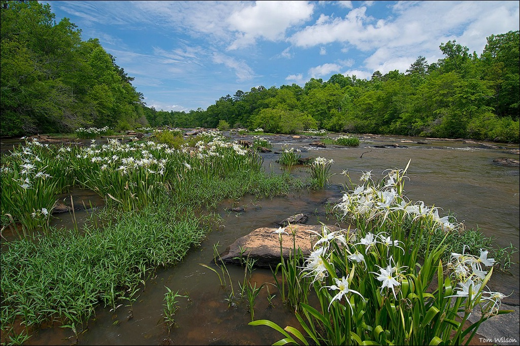 Spider Lilies on Flat Shoals Creek