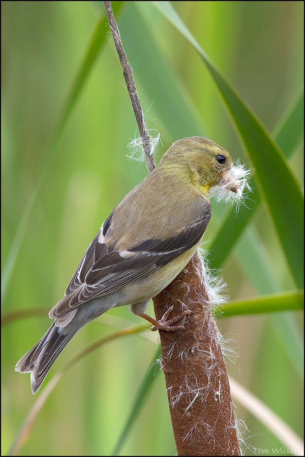 Female American Goldfinch Gathering Nesting Materi
