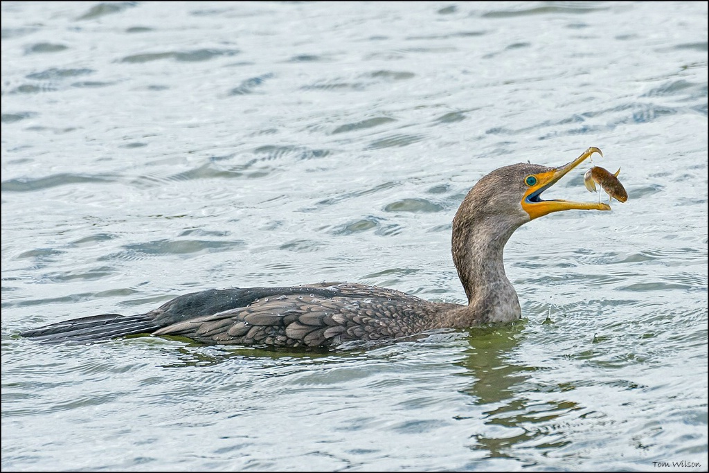 Double-crested Cormorant with Fish II