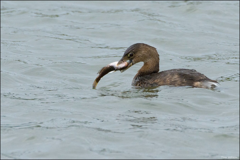 Pied-billed Grebe with fish