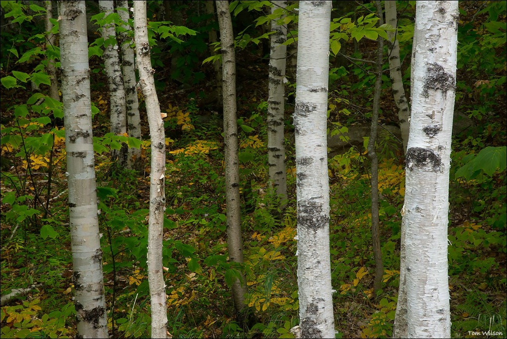 Birch Trunks Acadia National Park