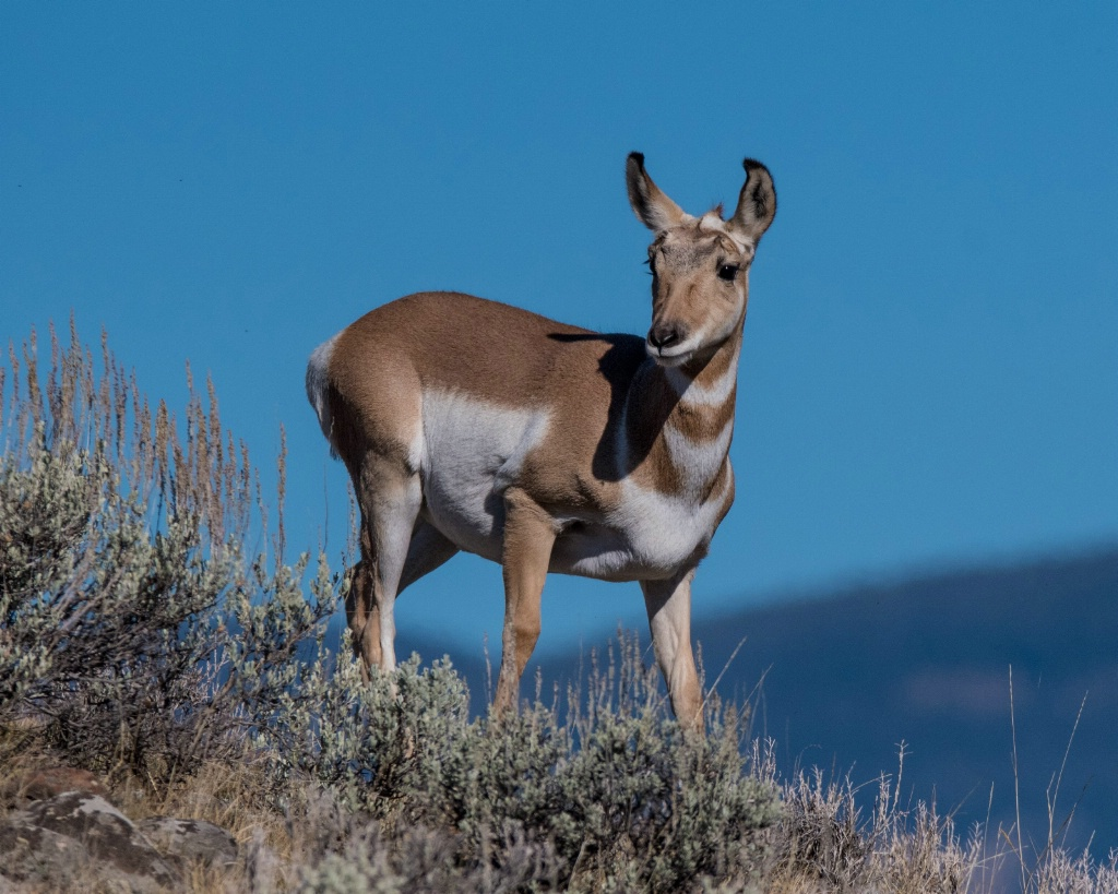 Curious Pronghorn