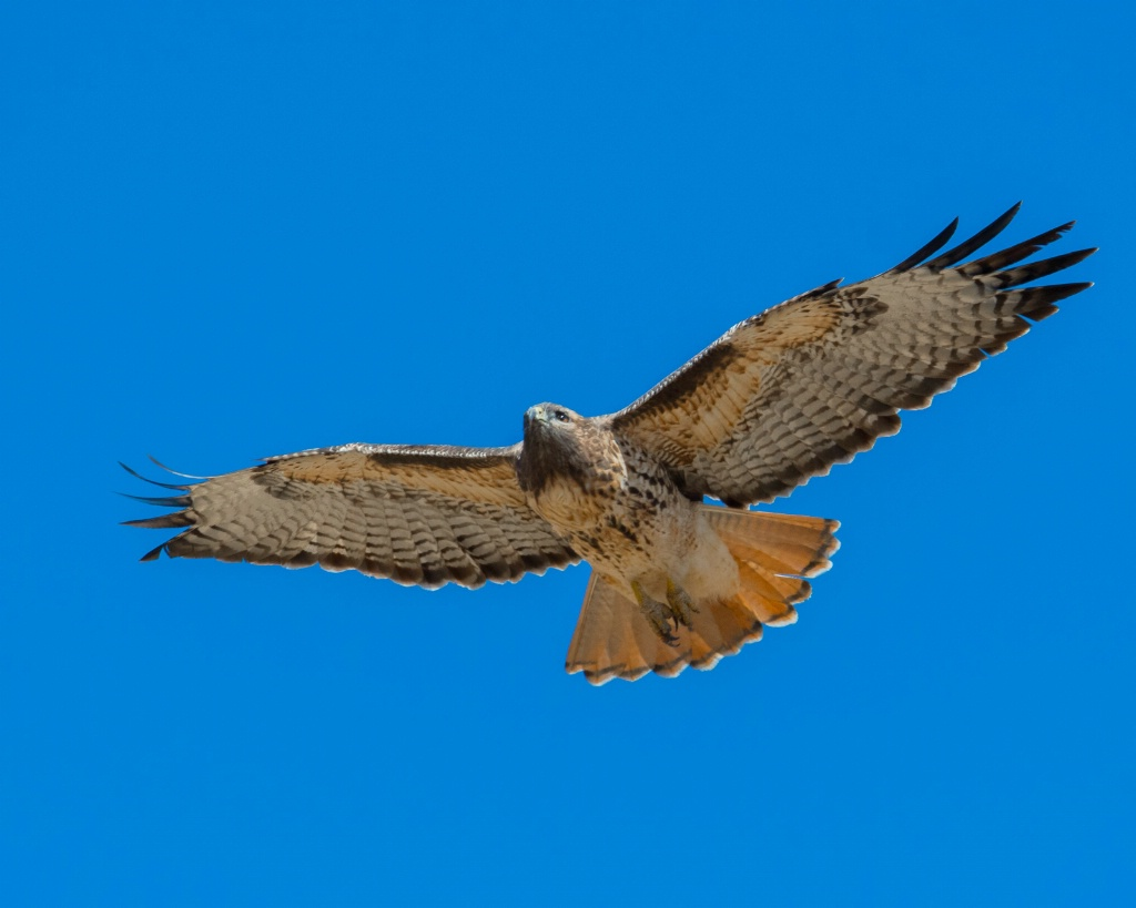 Hovering Hawk