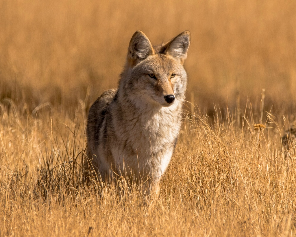 Regal Coyote