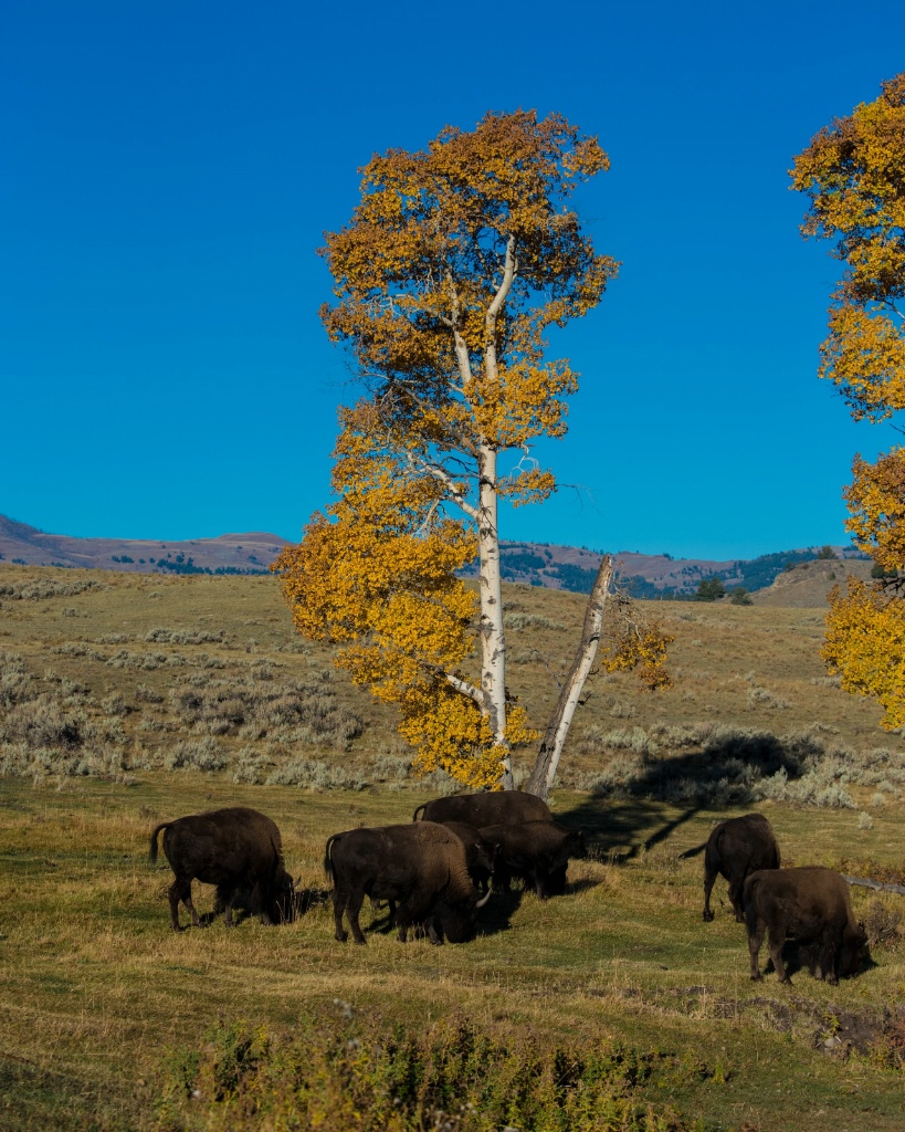 Fall in Lamar Valley