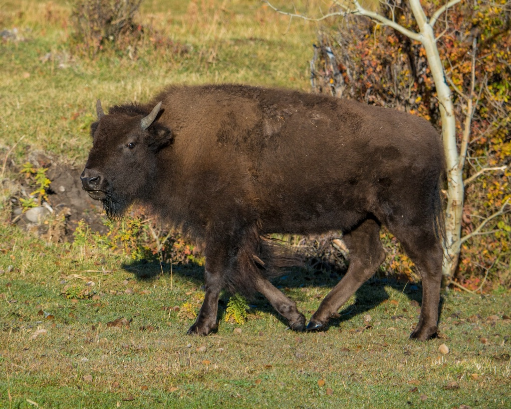 Fall Bison
