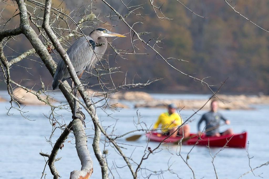 Heron watching Canoeists