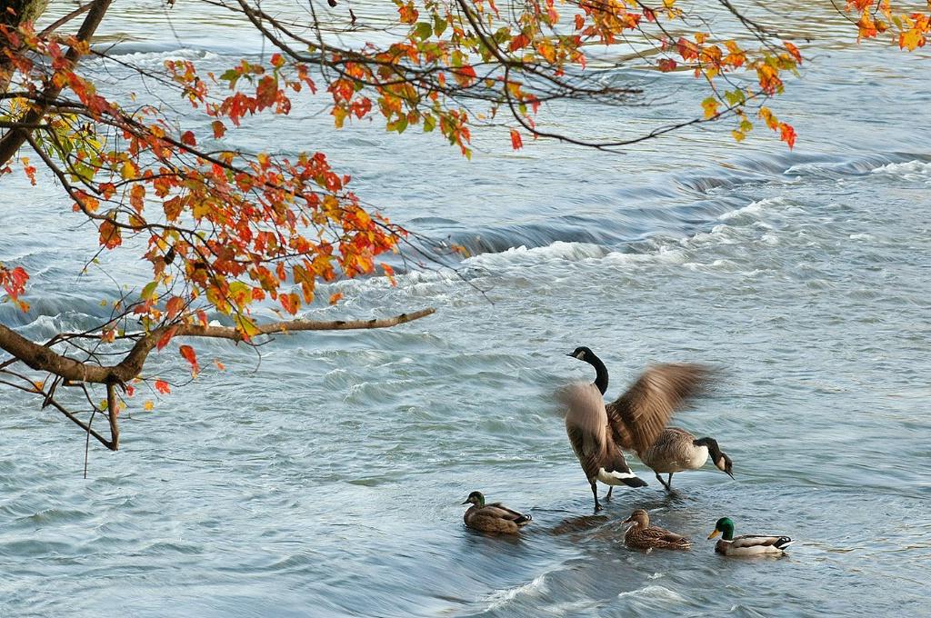 Goose and ducks at Cochran Shoals