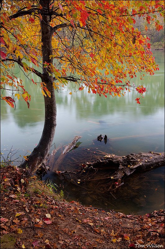 Maple on the Riverbank