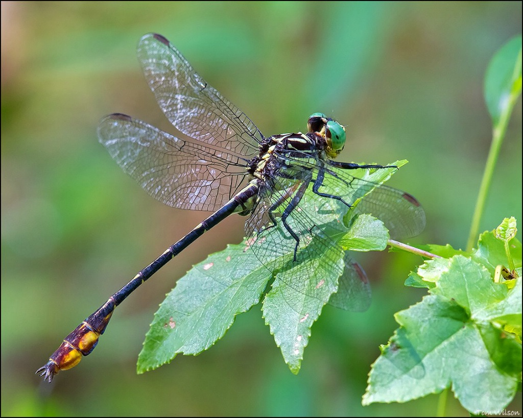 Male Laura's Clubtail