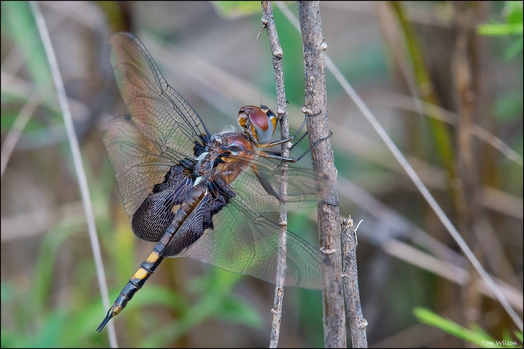 Female Black Saddlebags