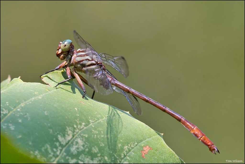 Male Russet-tipped Clubtail