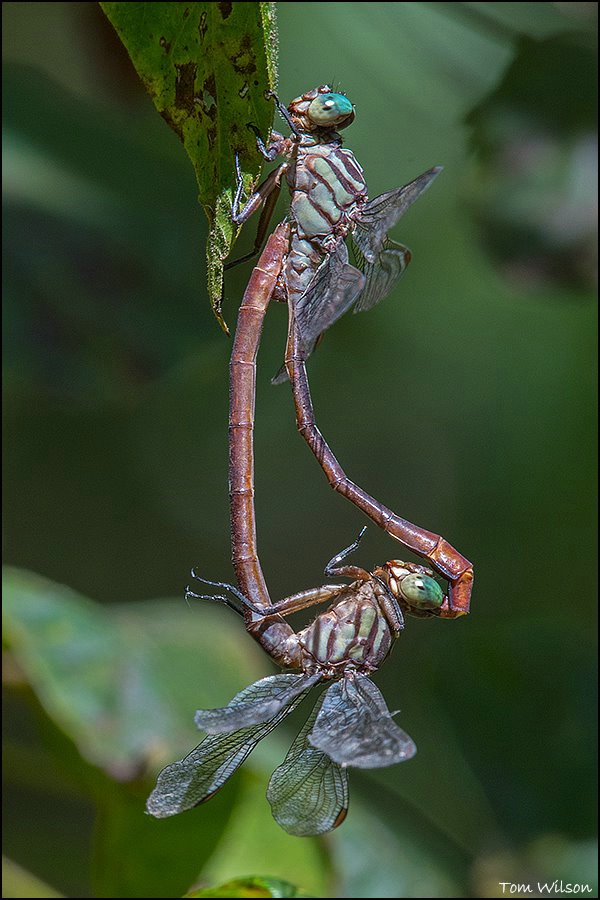 Russet-tipped Clubtail Wheel