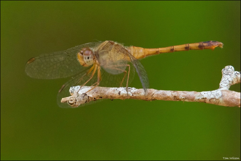 Female Autumn Meadowhawk