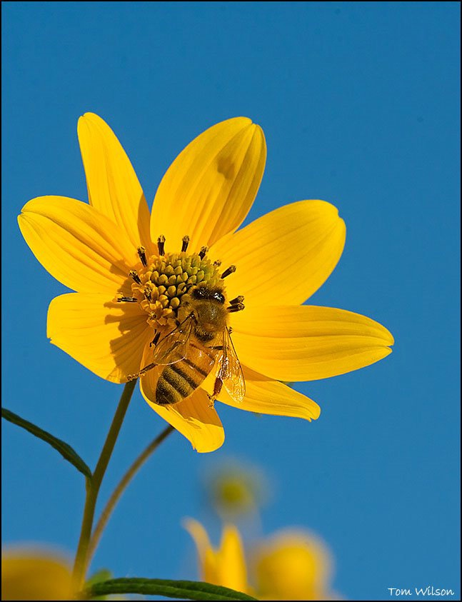 Bee on Yellow Daisies Blue Sky