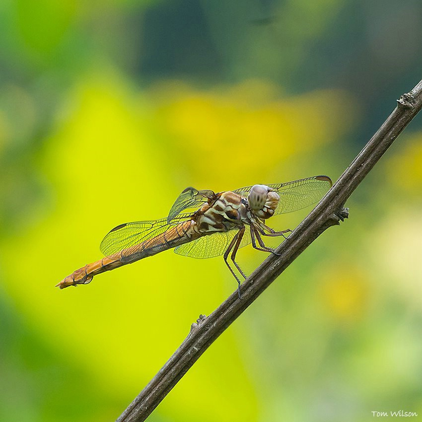 Female Roseate Skimmer