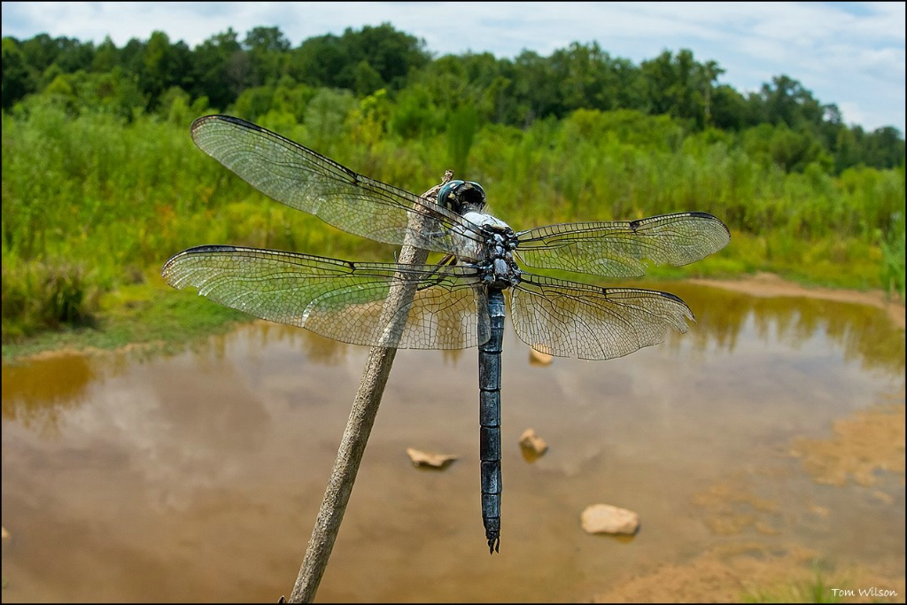 Male Great Blue Skimmer