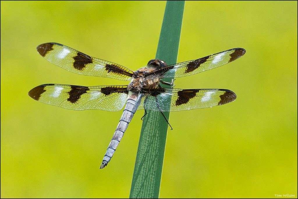 Male 12-spotted Skimmer
