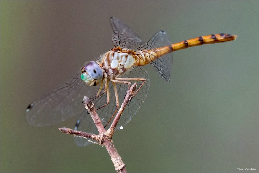 Female Blue-faced Meadowhawk