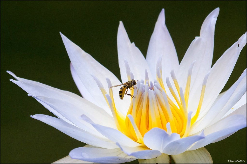 Bee on Waterlily