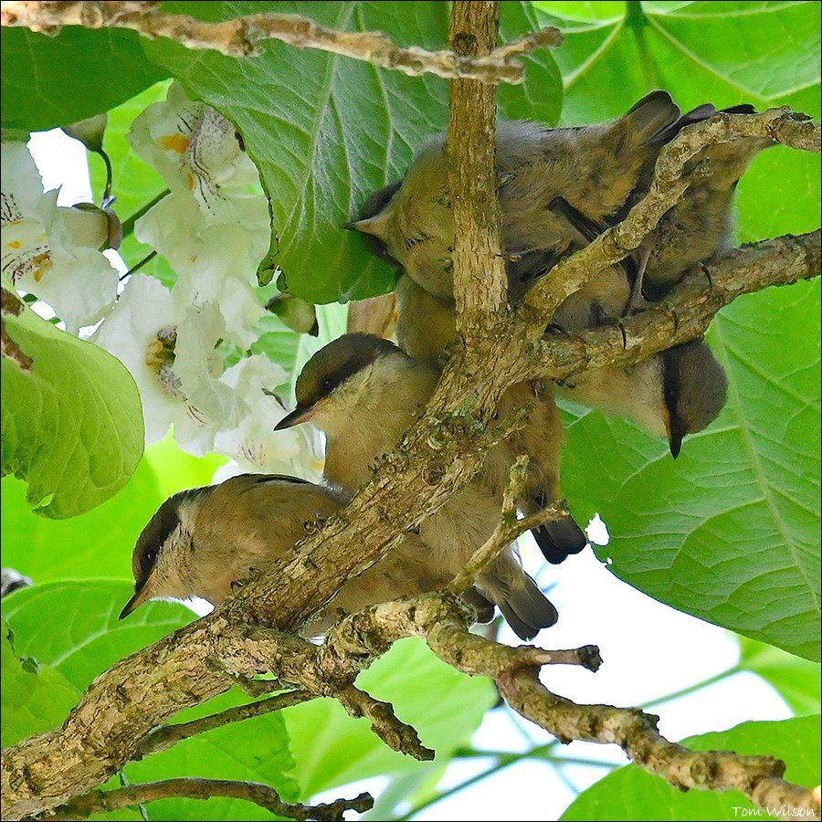 Baby Brown-headed Nuthatches