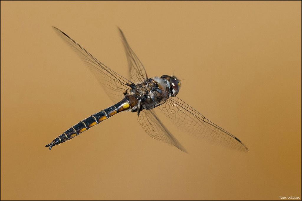 Male Common Baskettail