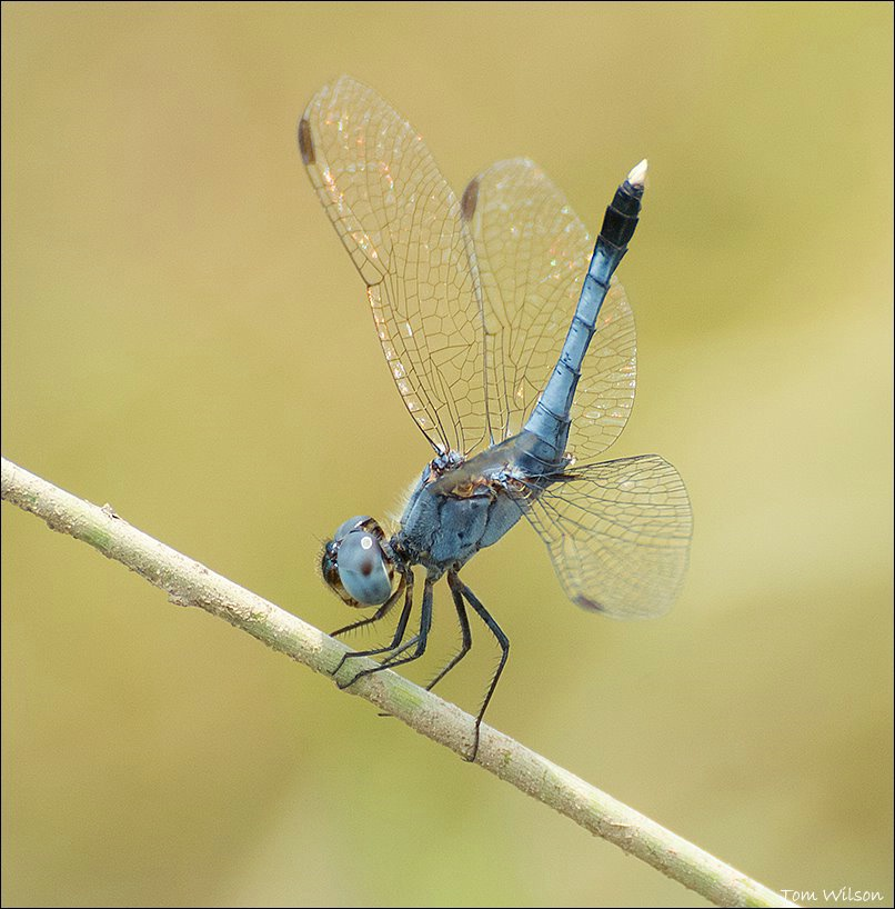 Male Little Blue Dragonlet