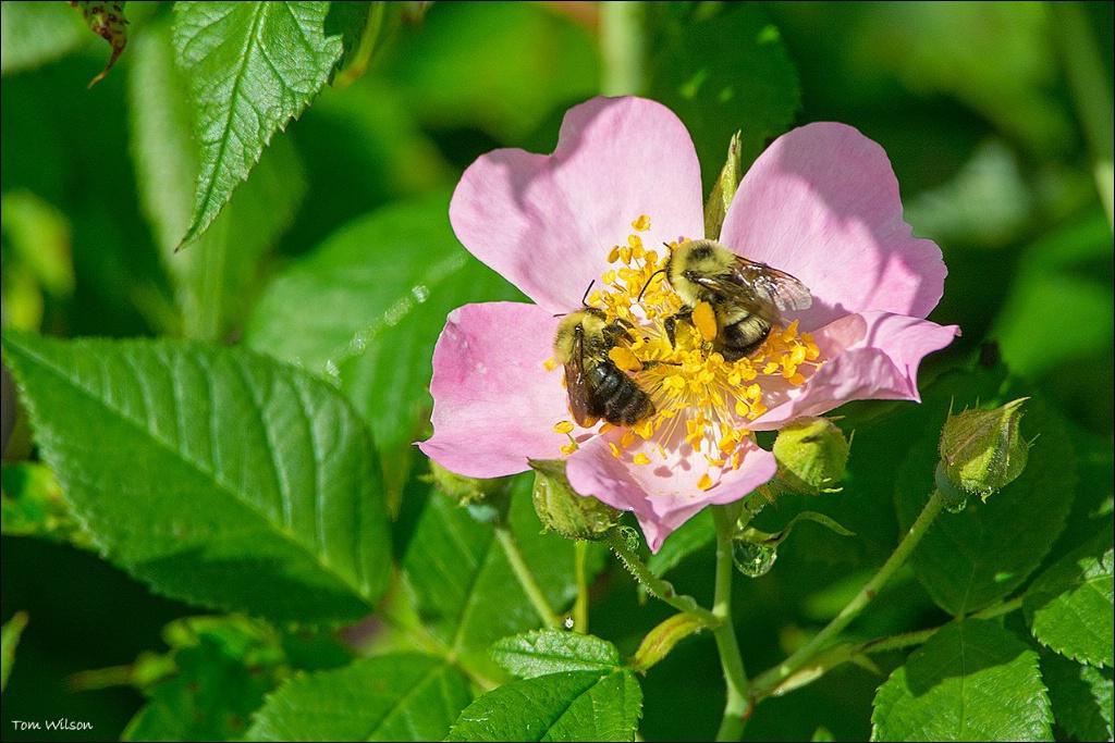 Bees on Cherokee Rose