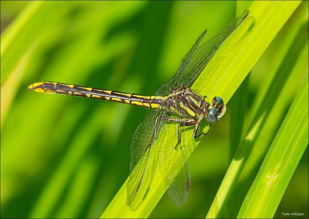 Female Lancet Clubtail