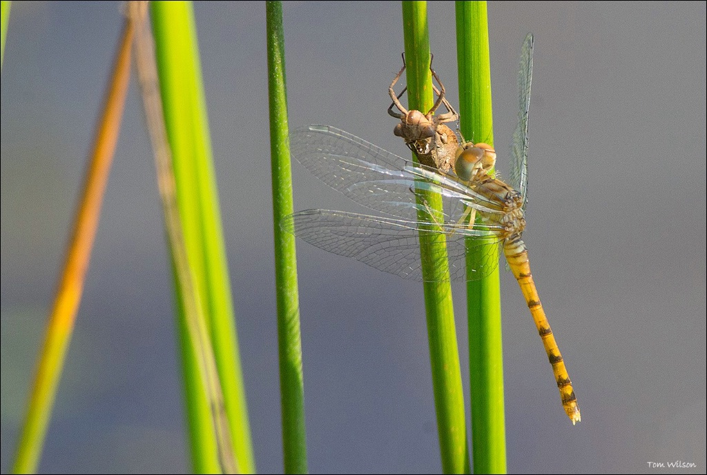 Blue-faced Meadowhawk with Exuvia