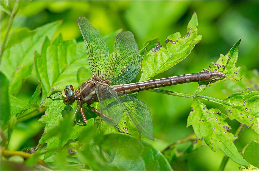 Female Ashy Clubtail
