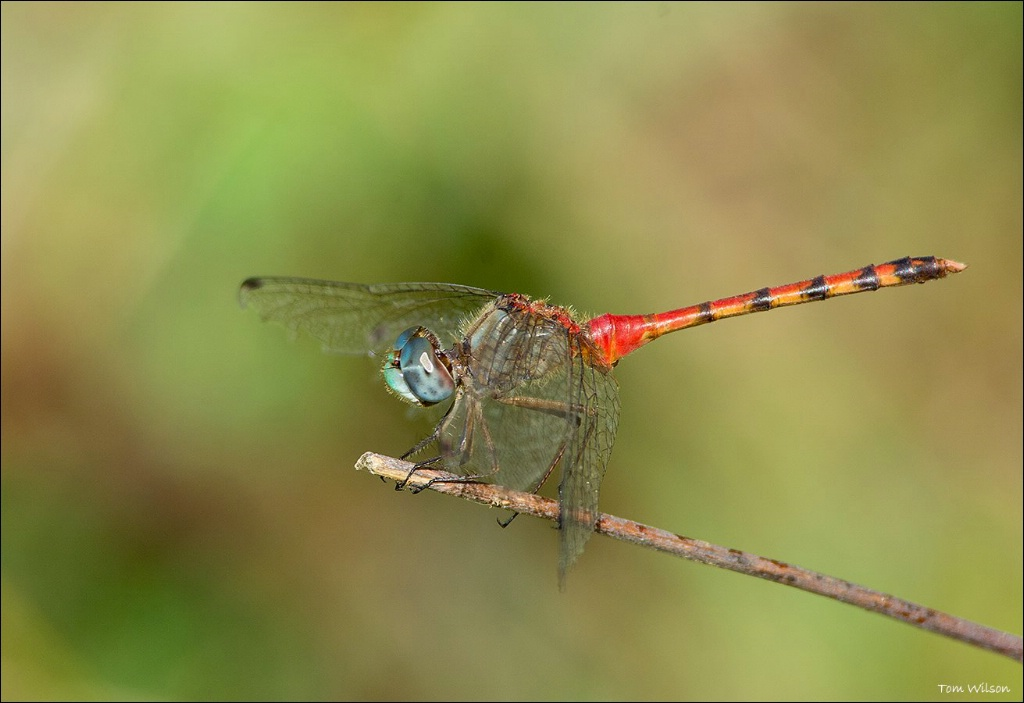 Male Blue-winged Meadowhawk