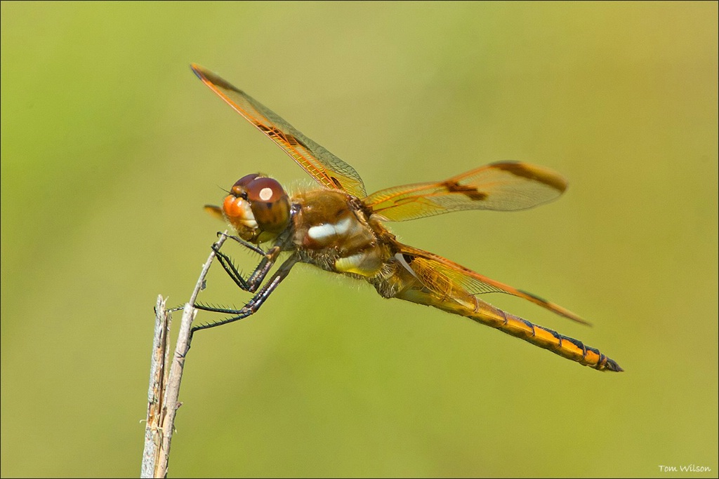 Male Painted Skimmer