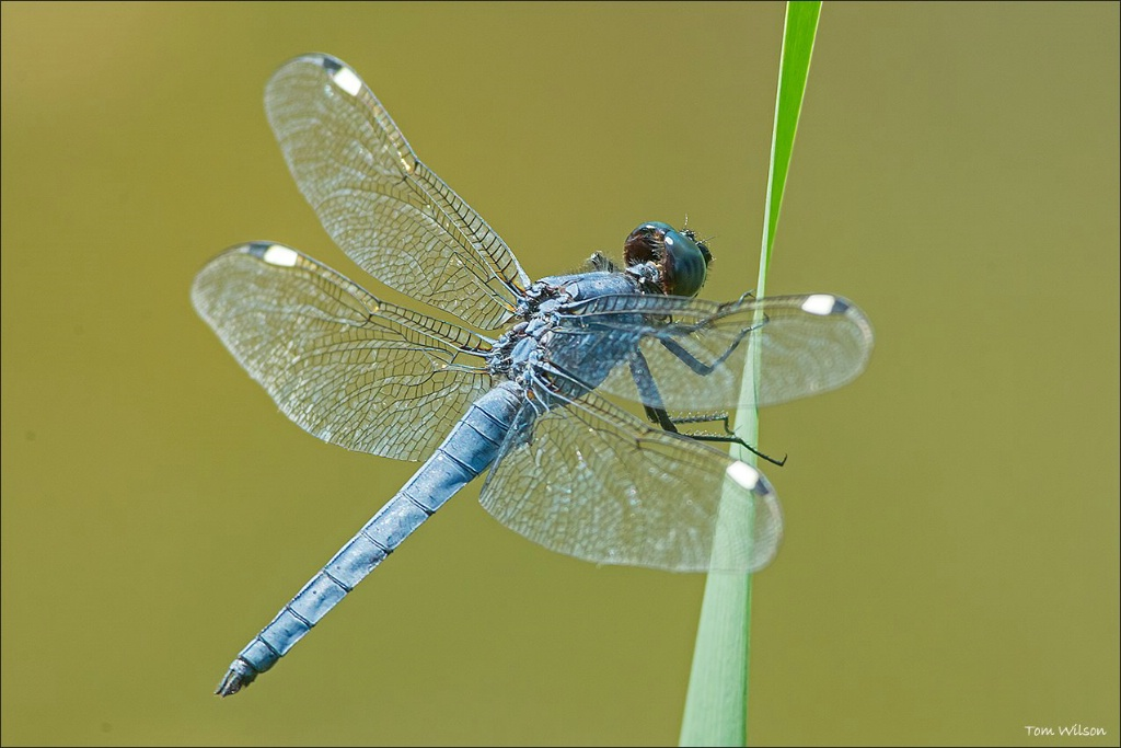 Male Spangled Skimmer