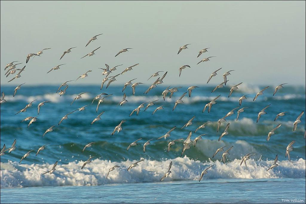 Sanderlings on the Wing
