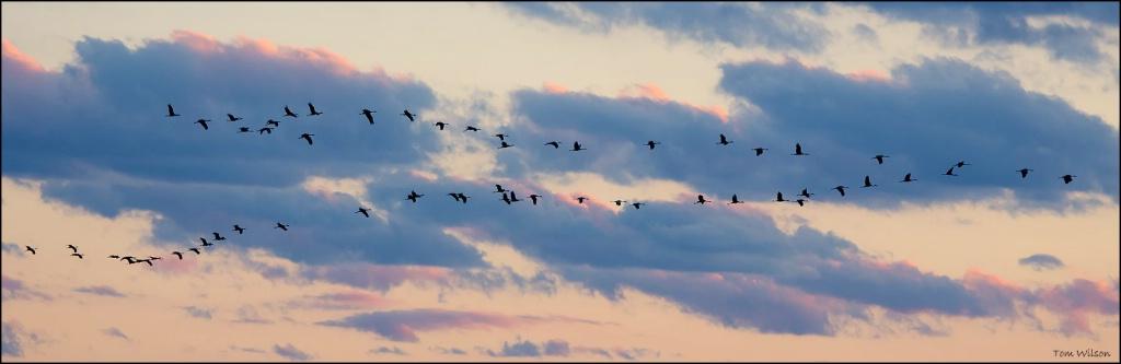 Sandhill Cranes over Little Kennesaw Mountain
