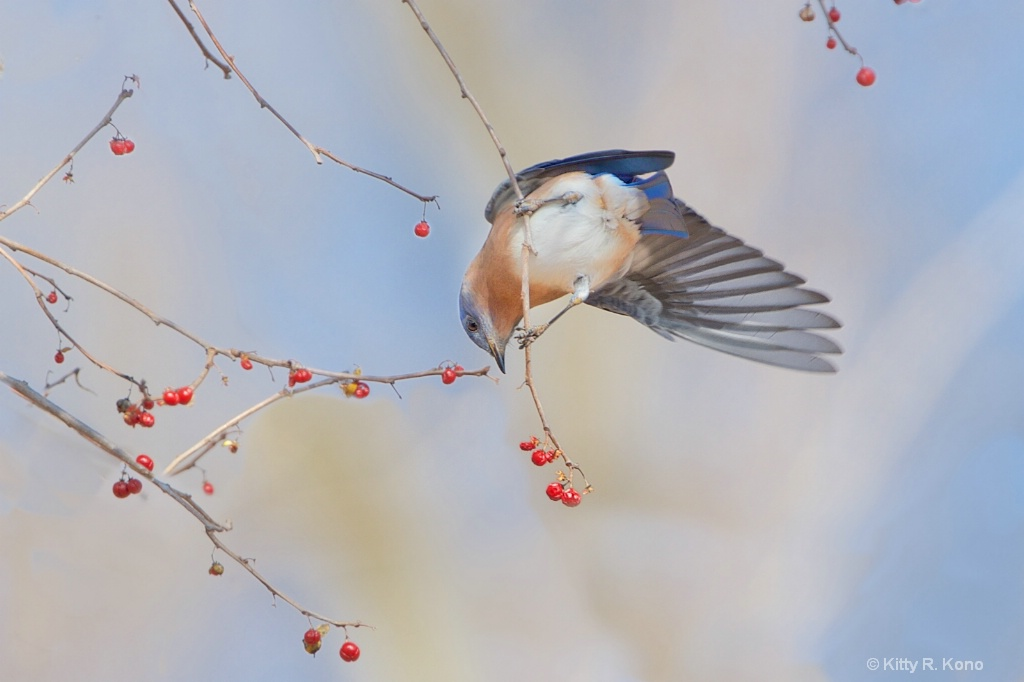 Bluebird and the Berries