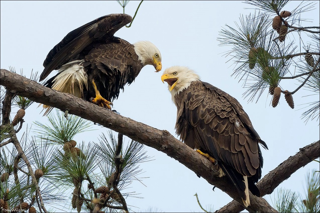 Male and Female Bald Eagle, Berry College
