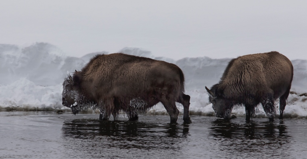 TWO BISON MOVING DOWN RIVER
